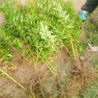哪里有石榴树苗 石榴苗品种 石榴树苗多少钱一颗 个大皮薄 林源果树苗基地