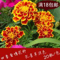 小万寿菊 孔雀草种子混色20粒 观赏花卉种子 盆栽花种子四季播