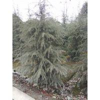 精品雪松基地批发 常绿乔木种植基地