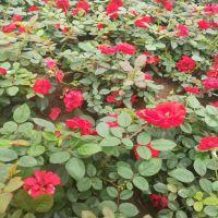园林绿化花卉月季花小苗价格