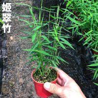 日本姬翠竹 青轴力竹 米竹观音竹子斑入 澳洲风竹山野草绿植盆栽