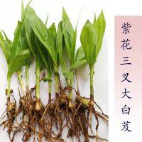 白芨苗紫花三叉大白芨种苗量大优惠免费提供种植技术