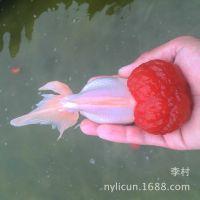 鹤顶红金鱼、红帽金鱼——李村观赏鱼养殖场直批