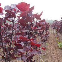 基地批发杨树苗 各种绿化苗木 红叶杨 中红杨 彩叶杨