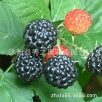 批发红树莓果苗   覆盆子苗  家庭盆栽,地栽 黄金水果红树莓