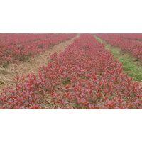 青州红叶小檗价格 丽都绿篱灌木红叶小檗种植基地