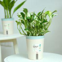 MMH绿植盆栽植物室内办公室桌面花卉植物盆栽富贵竹竹柏万年红