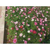 广西四季绿化花种子波斯菊格桑花种子野花组合种子易播速生花批发