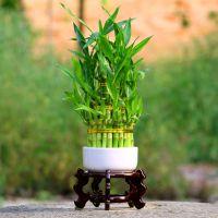 节节高竹塔富贵竹水培植物花卉水养办公室室内小绿植竹子盆栽包邮
