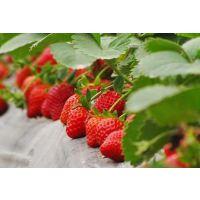优质保真草莓苗基地批发,品种全,价格优