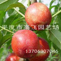 油桃苗 9602 桃树苗基地 新品种桃树