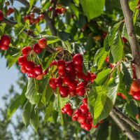 正一园艺场1米樱桃树苗 樱桃树苗哪里有卖 1.5米樱桃树苗 樱桃树苗一亩种多少