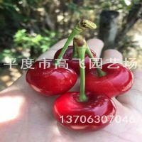 福辰樱桃苗 南方大樱桃品种 云南樱桃 规格多