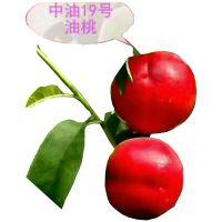金硕油桃苗什么时候栽好 中油4至中油19油桃树苗种植技术昌泰农业