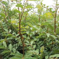 四川广元剑阁种植带土球花椒苗在哪里购买,优质花椒苗出售,