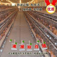 正宗黄麻羽高产绿壳蛋鸡苗活体年产300枚绿壳率90%以上包运输成活