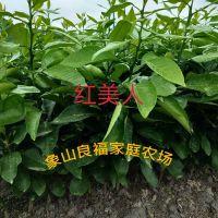 红美人柑橘苗基地,桔子苗种植大户,象山产地直发