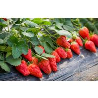 草莓抗病害叶面肥 解决草莓死苗烂根 无激素光碳肥价格