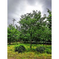 16公分榉树多少钱15公分榉树多少钱