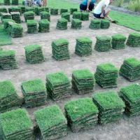 马尼拉草坪 广东云浮生态旅游景点绿化用的四季青草坪出售价格 优质服务