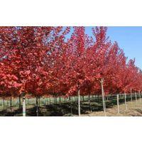 15公分美国红枫报价-富丽银杏苗木-15公分美国红枫