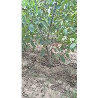 3公分核桃树+4公分核桃树+5公分核桃树供应商