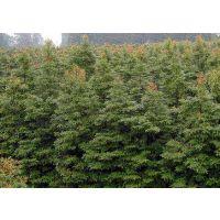 四川金丝楠木产地,桢楠园林用途,8-10公分小叶桢楠,桢楠树高度,桢楠生长环境,桢楠好树形价格