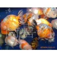河南观赏鱼养殖基地按斤大量批发各类规格的中高档金鱼