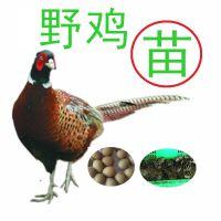广州赣兴禽业提供野鸡苗养殖新技术,,野鸡养殖视频