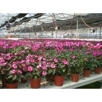 智能薄膜花卉温室跨度和高度 单层膜连栋温室