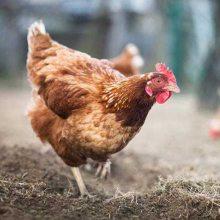 60日龄海兰褐青年鸡5000只每只15.5元