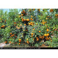 沃柑的经济效益怎么样-广西沃柑苗品种哪里好柳州沃柑苗哪里便宜