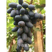 新早熟品种葡萄种苗厂家直销