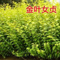 彩色绿化苗金叶女贞苗庭院绿化小区园林绿化树苗四季常青庭院植物