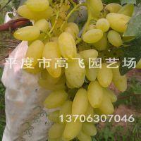 平度葡萄苗 金手指葡萄苗 南方北方种植 葡萄苗种植技术