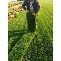 铺设草坪多少钱 河北草皮 草坪批发