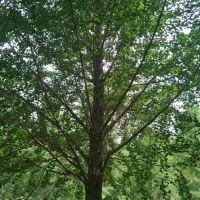 米径30cm银杏嫁接树怎么卖 美邦远程 银杏嫁接树批发