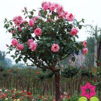 树状月季花苗 高杆月季 绿化苗 月季苗盆栽 造型漂亮1米2左右