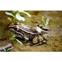 养殖青蛙几月可以出售丨湖北天泽惠丰