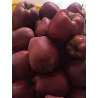 花牛苹果苗哪里有卖 花牛苹果苗价格 六代红星苹果苗基地