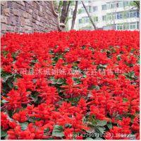 一串红种子矮串红太阳神系列 炮仗花园林景观花卉种子花种