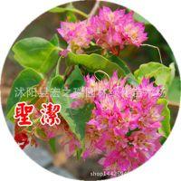 圣锲三角梅苗 三角梅盆栽 三角梅重瓣花苗 三角梅盆景花卉