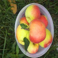 华硕苹果苗报价表 华硕苹果苗多少钱一棵