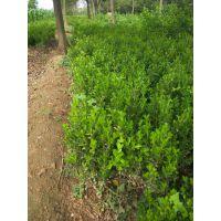 大量批发供应小叶黄杨及豆瓣黄杨
