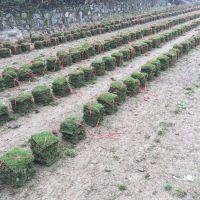 马尼拉草坪 广安厂区绿化用的四季青草坪批发价格 哪家强