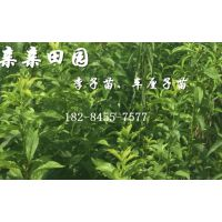 李子苗培育基地,李子树苗批发价格,李树苗新品种