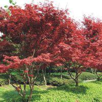优质美国红枫多少钱 瑞森苗木 美国红枫价格 美国红枫