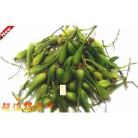 铁皮石斛种子/铁皮枫斗种子/铁皮石斛苗果实蒴果/红茎、 软脚品种