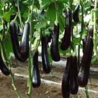 茄子批发 成都新鲜茄子  蔬菜厂家发货 种植销售批发学校供应