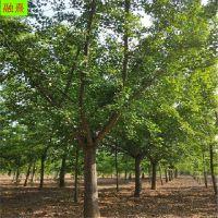 山东银杏树基地 公园道路湿地绿化专用 果实药用价值高 10公分银杏树价格